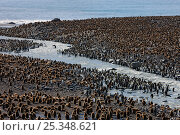 King Penguin (Aptenodytes patagonicus) colony with adults and chicks gathering, St Andrews Bay, South Georgia Island, Southern Ocean, Antarctic Convergence. November 2008. Стоковое фото, фотограф Ingo Arndt / Nature Picture Library / Фотобанк Лори