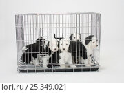 Купить «Five Old English Sheepdog, puppies, 6 weeks, in puppy crate / Bobtail», фото № 25349021, снято 20 августа 2018 г. (c) Nature Picture Library / Фотобанк Лори