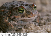 Купить «Natterjack toad {Bufo calamita} portrait, controlled conditions, from Europe», фото № 25349329, снято 21 февраля 2020 г. (c) Nature Picture Library / Фотобанк Лори
