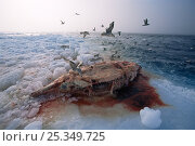 Купить «Birds feeding on Narwhal (Monodon monoceros) carcass left by Inuit hunters, Lancaster Sound, Nunavut, Canadian high Arctic», фото № 25349725, снято 20 марта 2019 г. (c) Nature Picture Library / Фотобанк Лори
