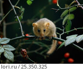 Dormouse {Muscardinus avellanarius} on rose branch, controlled conditions, UK. Стоковое фото, фотограф Stephen Dalton / Nature Picture Library / Фотобанк Лори