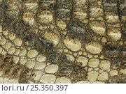 Купить «Nile crocodile {Crocodylus niloticus} close-up of skin, captive», фото № 25350397, снято 15 октября 2019 г. (c) Nature Picture Library / Фотобанк Лори