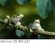 Купить «European / Common tree frogs (Hyla arborea) two sitting on branch, controlled conditions, from Europe», фото № 25351221, снято 15 августа 2018 г. (c) Nature Picture Library / Фотобанк Лори