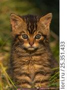 Купить «Scottish wild cat (Felis sylvestris) kitten, captive, UK», фото № 25351433, снято 21 сентября 2018 г. (c) Nature Picture Library / Фотобанк Лори