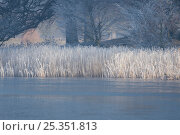 Icy pond and frost covered plants, Norfolk, England, February 2008. Стоковое фото, фотограф Robin Chittenden / Nature Picture Library / Фотобанк Лори