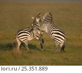 Common / Burchell's zebra (Equus quagga) males fighting, Masai Mara, Kenya. Стоковое фото, фотограф Andy Rouse / Nature Picture Library / Фотобанк Лори