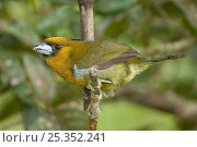 Купить «Prong billed barbet (Semnornis frantzii) perched on branch, Costa Rica, March», фото № 25352241, снято 17 июня 2019 г. (c) Nature Picture Library / Фотобанк Лори