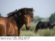 Купить «Portrait of feral stallion in the Letea Forest, Danube Delta Biosphere Reserve, Romania, June 2009», фото № 25352617, снято 16 августа 2018 г. (c) Nature Picture Library / Фотобанк Лори
