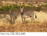 Hartmann's mountain zebra {Equus zebra hartmannae} Etendeka, Damaraland, Namibia, September. Стоковое фото, фотограф Kristel Richard / Nature Picture Library / Фотобанк Лори