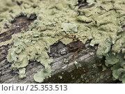 Купить «Orb weaver spider (Nuctenea umbratica) on lichen-covered fence, UK», фото № 25353513, снято 25 января 2020 г. (c) Nature Picture Library / Фотобанк Лори