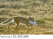 Купить «Arctic fox (Alopex lagopus) with Common guillemot (Uria aalge) prey, Alkehornet, Svalbard, Norway, July 2008», фото № 25355849, снято 3 июля 2020 г. (c) Nature Picture Library / Фотобанк Лори