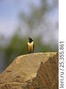 Купить «Buff-streaked chat {Oenanthe bifasciata} male perched on rock, singing, Wakkestroom, South Africa, November», фото № 25355861, снято 25 сентября 2018 г. (c) Nature Picture Library / Фотобанк Лори