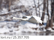 Trumpeter Swan (Cygnus buccinator) trumpeting in flight, flying past bare trees along Mississippi River, Minnesota, USA. Стоковое фото, фотограф Lynn M Stone / Nature Picture Library / Фотобанк Лори