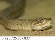 Купить «Western diamondback rattlesnake {Crotalus atrox} captive, from Texas, USA», фото № 25357837, снято 22 октября 2018 г. (c) Nature Picture Library / Фотобанк Лори