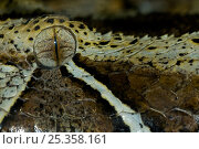 Rhinoceros viper / adder {Bitis nasicornis} close up of eye, captive, from Africa; Стоковое фото, фотограф Edwin Giesbers / Nature Picture Library / Фотобанк Лори