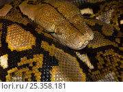 Купить «Reticulated python {Python reticulatus} resting on jungle floor, Tanjung Puting National Park, Borneo, Kalimantan, Indonesia», фото № 25358181, снято 20 августа 2018 г. (c) Nature Picture Library / Фотобанк Лори