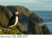 Puffin (Fratercula arctica) standing on cliff top, Fair Isle, Shetland Islands, UK. Стоковое фото, фотограф Andy Rouse / Nature Picture Library / Фотобанк Лори