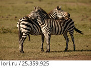 Купить «Common / Burchell's zebra (Equus quagga) mutual fly protection in the heat, Masai Mara, Kenya», фото № 25359925, снято 7 июля 2020 г. (c) Nature Picture Library / Фотобанк Лори