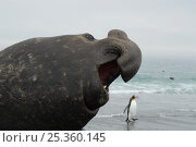 Bull Elephant seal (Mirounga sp) portrait with penguin walking along beach, St Andrews Bay, South Georgia. Стоковое фото, фотограф Michael Pitts / Nature Picture Library / Фотобанк Лори