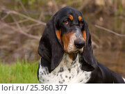 Купить «Domestic dog, Basset Hound, 9-month female, St. Charles, Illinois, USA», фото № 25360377, снято 16 февраля 2019 г. (c) Nature Picture Library / Фотобанк Лори