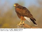 Harris's Hawk (Parabuteo unicinctus) of the subspecies P. u. harrisi. Starr County, Texas. Стоковое фото, фотограф Gerrit Vyn / Nature Picture Library / Фотобанк Лори