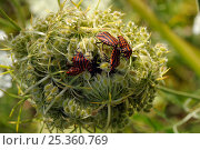Купить «Red and black striped stink bugs (Graphosoma lineatum) competing to mate on Wild carrot (Daucus carota) seedhead, Brandenburg, Germany», фото № 25360769, снято 9 июля 2020 г. (c) Nature Picture Library / Фотобанк Лори