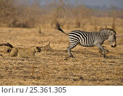 African lion (Panthera leo) playing with Common / Burchell's zebra (Equus quagga burchelli) originally chased but not serious, Luangwa Valley, Zambia, Africa. Стоковое фото, фотограф Andy Rouse / Nature Picture Library / Фотобанк Лори