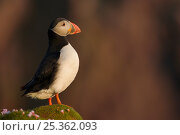 Puffin (Fratercula arctica) standing on moss covered rock, Fair Isle, Shetland Islands, UK. Стоковое фото, фотограф Andy Rouse / Nature Picture Library / Фотобанк Лори