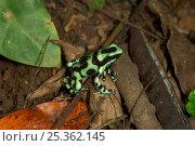Купить «Green poison dart frog (Dendrobates auratus) carrying tadpole on its back, Costa Rica», фото № 25362145, снято 29 мая 2020 г. (c) Nature Picture Library / Фотобанк Лори