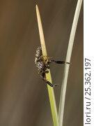 Jumping spider (Marpissa nivoyi) on stem, UK, Salticidae. Стоковое фото, фотограф Stephen Dalton / Nature Picture Library / Фотобанк Лори