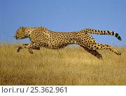 Купить «Cheetah (Acinonyx jubatus) running, Kenya (non-ex)», фото № 25362961, снято 22 мая 2018 г. (c) Nature Picture Library / Фотобанк Лори