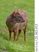 Купить «Male Southern / Chilean Pudu deer (Pudu puda) captive, from S Chile and SW Argentina, Vulnerable species», фото № 25363413, снято 20 мая 2020 г. (c) Nature Picture Library / Фотобанк Лори