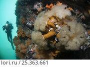 Купить «Plumose sea anemones (Metridium senile) on rock with Klas Malmberg in the background, Saltstraumen, Bodö, Norway, October 2008», фото № 25363661, снято 20 ноября 2019 г. (c) Nature Picture Library / Фотобанк Лори