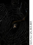 Купить «Orb weaver spider (Nuctenea umbraticus) feeding on ladybird (Calvia sp) prey on web at night, UK», фото № 25363881, снято 25 января 2020 г. (c) Nature Picture Library / Фотобанк Лори