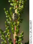 Купить «Orb weaver spider (Mangora acalypha) on vegetation, UK», фото № 25363897, снято 25 января 2020 г. (c) Nature Picture Library / Фотобанк Лори