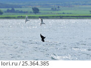 Купить «Two Herring gulls (Larus argentatus) feeding on scraps of fish after a successful hunt by Bottlenosed dolphins (Tursiops truncatus) tail fluke of one at...», фото № 25364385, снято 22 июля 2018 г. (c) Nature Picture Library / Фотобанк Лори