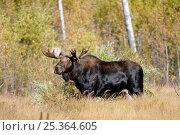 Купить «Bull Moose (Alces alces) standing in long grass, Elk National Park, Alberta, Canada», фото № 25364605, снято 23 июля 2018 г. (c) Nature Picture Library / Фотобанк Лори