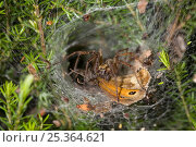 Купить «Labyrinth spider (Agelena labyrinthica) in funnel web with Meadow brown butterfly prey, UK, Agelenidae», фото № 25364621, снято 10 декабря 2018 г. (c) Nature Picture Library / Фотобанк Лори