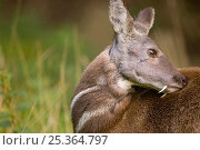 Siberian musk deer (Moschus moschiferus) male with tusks grooming, captive, Midlothian deer enclosure, UK, vulnerable species. Стоковое фото, фотограф Mark Bowler / Nature Picture Library / Фотобанк Лори