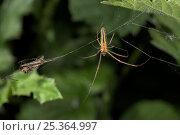 Купить «Long jawed / Slender orb weaver spider (Tetragnatha extensa) on web, UK, Araneidae», фото № 25364997, снято 25 января 2020 г. (c) Nature Picture Library / Фотобанк Лори