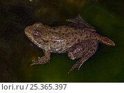 Купить «Green frog (Rana clamitans) nearly metamorphosed frog showing remnants of tadpole tail, New York, USA, captive», фото № 25365397, снято 26 мая 2019 г. (c) Nature Picture Library / Фотобанк Лори