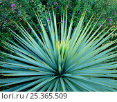 Купить «Dramatic rosette of spiked leaves of a Yucca plant, Tucson, Arizona, USA», фото № 25365509, снято 21 сентября 2018 г. (c) Nature Picture Library / Фотобанк Лори