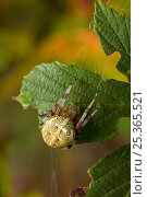 Купить «Orb weaver spider (Araneus quadratus) UK, marbled form», фото № 25365521, снято 25 января 2020 г. (c) Nature Picture Library / Фотобанк Лори