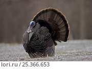 Wild Turkey (Meleagris gallopavo) male displaying, NY, USA. Стоковое фото, фотограф John Cancalosi / Nature Picture Library / Фотобанк Лори