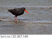 Купить «Variable Oystercatcher (Haematopus unicolor) all black form on shoreline Milford, Hauraki Gulf, North Island, New Zealand», фото № 25367149, снято 21 ноября 2019 г. (c) Nature Picture Library / Фотобанк Лори