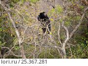 Купить «Sloth bear (Melursus ursinus) climbing tree for fruit, Satpura National Park, India», фото № 25367281, снято 21 марта 2018 г. (c) Nature Picture Library / Фотобанк Лори