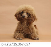Купить «Red Toy Poodle, Reggie, 18 months, lying down with head raised.», фото № 25367657, снято 25 марта 2019 г. (c) Nature Picture Library / Фотобанк Лори