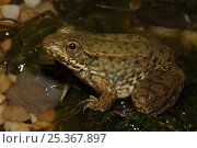 Купить «Green frog (Rana clamitans) in shallow water, New York, USA», фото № 25367897, снято 26 мая 2019 г. (c) Nature Picture Library / Фотобанк Лори