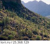 Saguaro cacti (Carnegiea gigantea) Sand Tank Mountains, Barry M. Goldwater Range, Arizona, USA. Стоковое фото, фотограф Jack Dykinga / Nature Picture Library / Фотобанк Лори