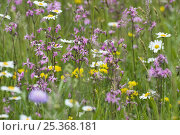 Купить «Flowering meadow with Marguerites (Leucanthemum vulgare) and Ragged robin (Lychnis floscuculi) Poloniny National Park, Western Carpathians, Slovakia, Europe, May 2009», фото № 25368181, снято 12 декабря 2017 г. (c) Nature Picture Library / Фотобанк Лори